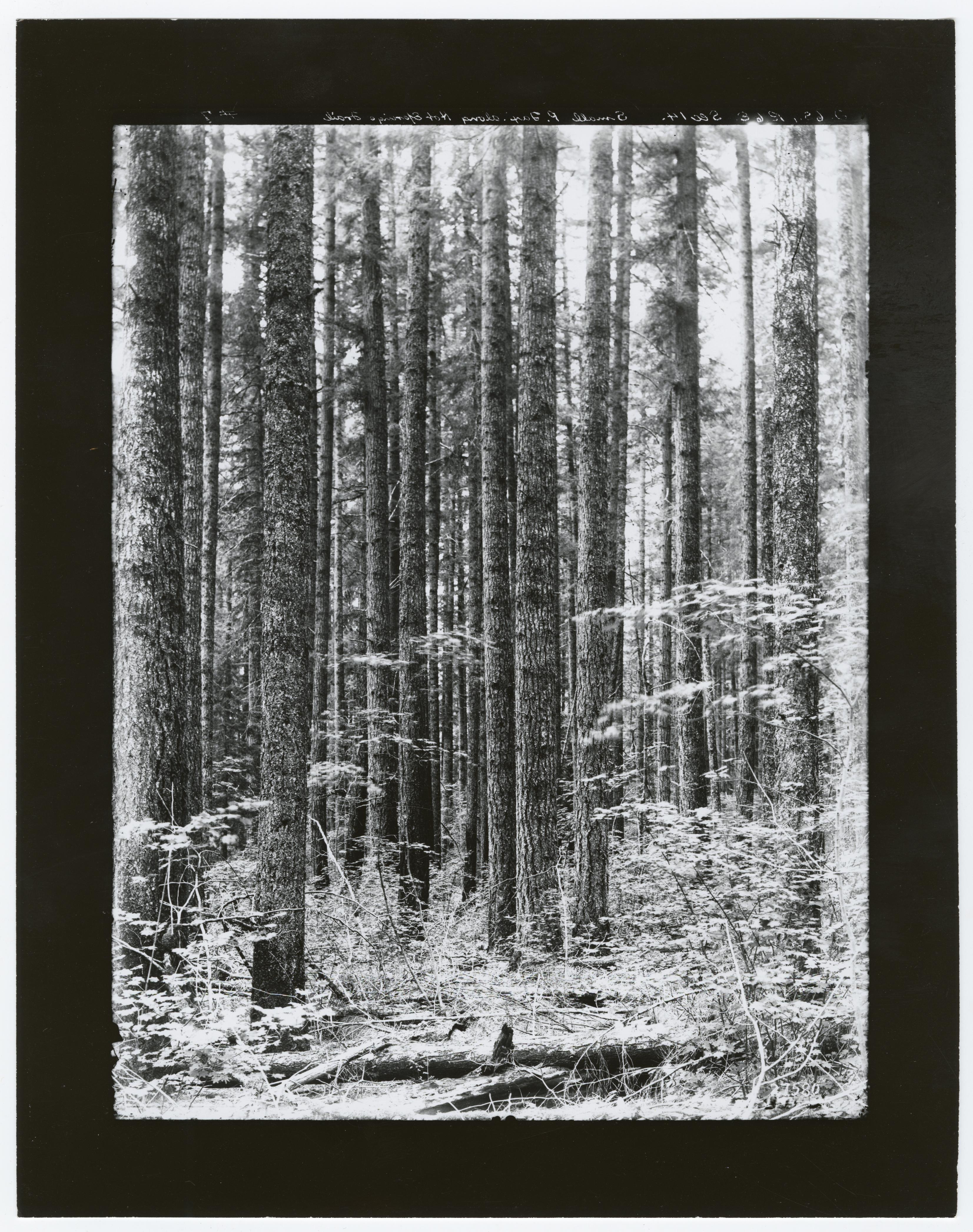 Timber Management - Types, Pacific Firs