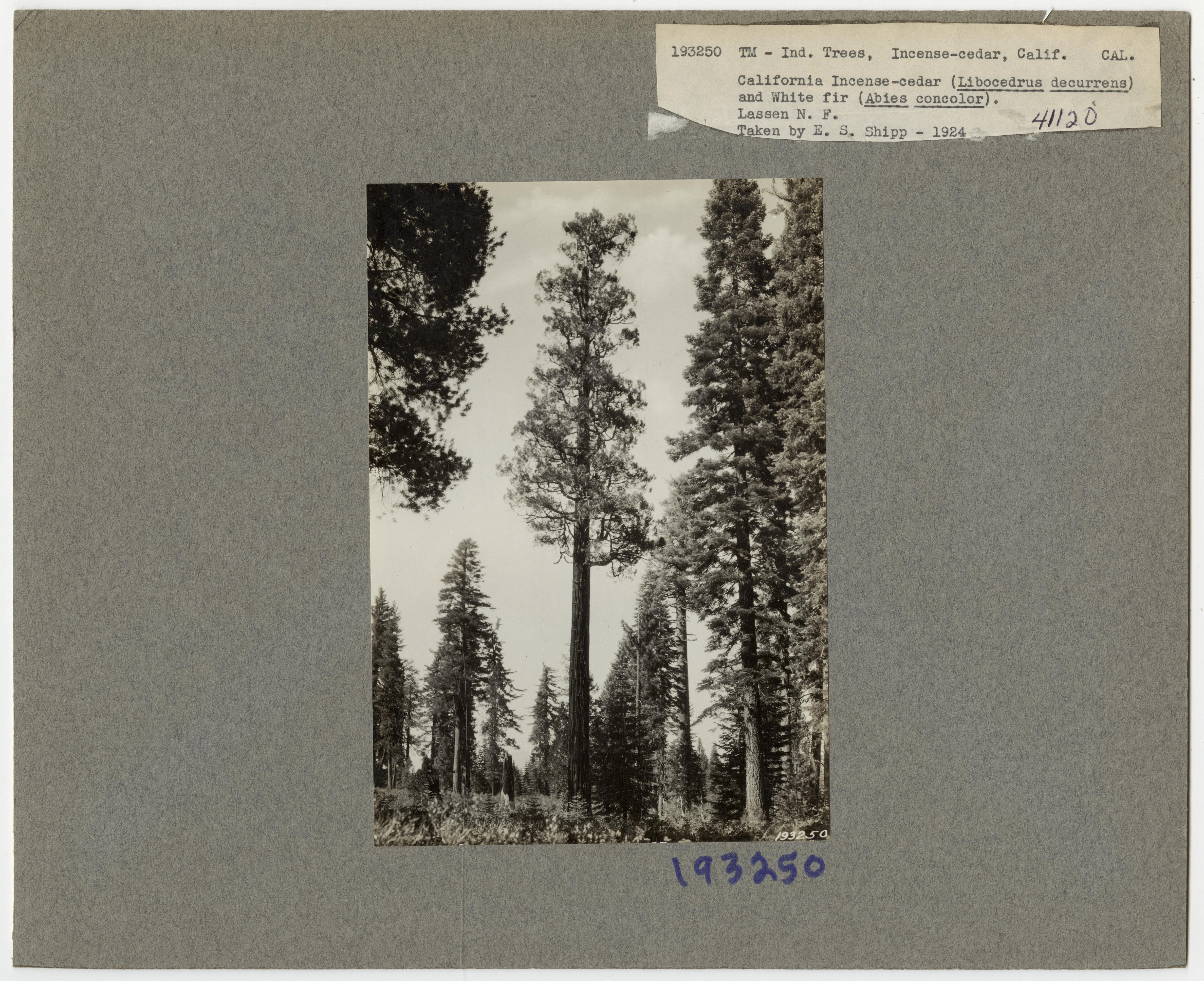Tree Identification - Incense: Cedar